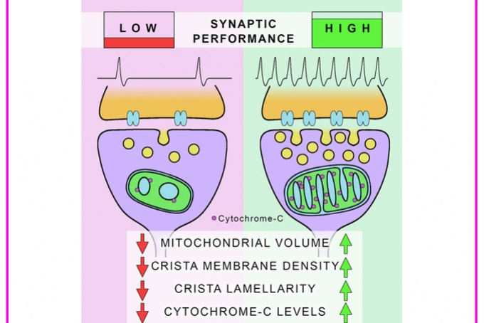 Mitochondrial Ultrastructure Is Coupled to Synaptic Performance
